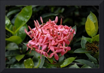 Cayman Islands : Pink Ixora