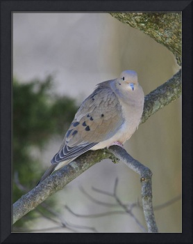 Mourning Dove In the Dogwood