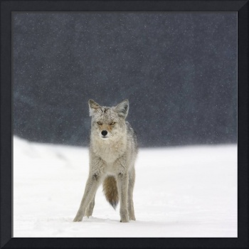 Coyote In Heavy Snowfall In Elk Island National Pa