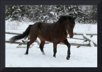 Morgan Stallion in the Snow