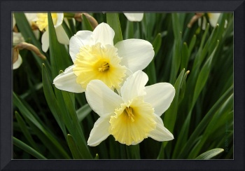 White Daffodils Photo