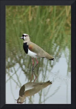 Southern Lapwing in Shallow Water