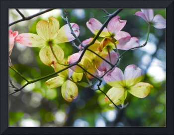 Yellow, Pink, and amethyst dogwood Blossoms