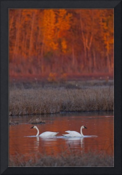 A Pair Of Adult Trumpeter Swans Swim In Potter Mar