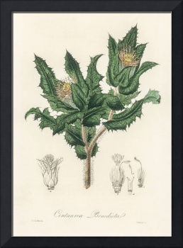 Vintage Botanical Holy thistle