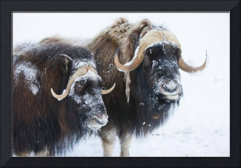Two Bull Muskoxen, Faces Covered In Snow, Alaska W