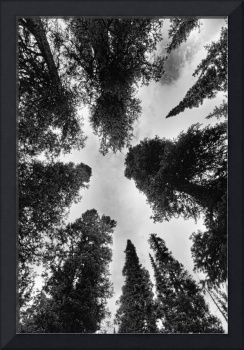Colorado Rocky Mountain Forest Sky BW