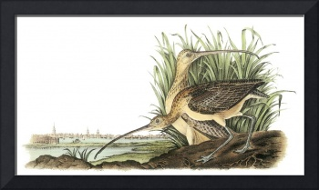 Long-Billed Curlew Bird Audubon Print