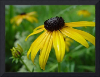 Portrait of Black-eyed Susan