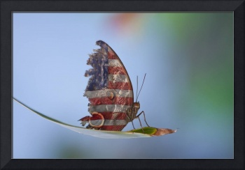 Torn American Butterfly