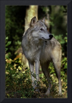 Grey Wolf by Jim Crotty