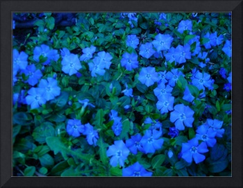 Blue Ground Cover