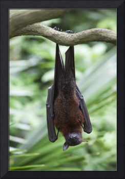 A Flying Fox Bat Hangs Upside Down At The Singapor
