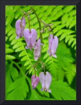 Bleeding Heart Wildflower
