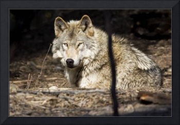 Wolf rests at the Alaska Zoo