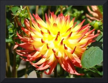 Dahlia RED Yellow Dahlias Flowers art prints flora