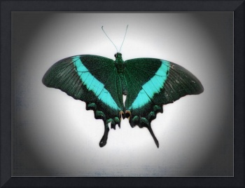 Emerald Swallowtail Butterfly 2017