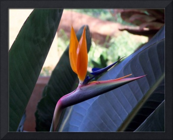 Two yellow wings Bird of Paradise
