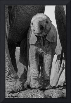 Baby Elephant Drinking by Mother Black & White