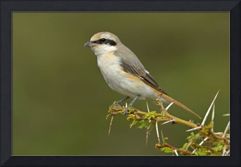 Close-up of a shrike perching on a branch