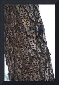 Red headed Woodpecker on a Holy tree