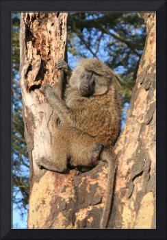 Baboon in a tree