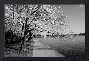 Cherry Blossoms in B&W