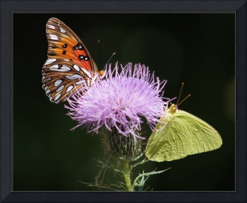 Two butterflies, flower