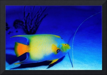 Queen Angelfish in the Blue