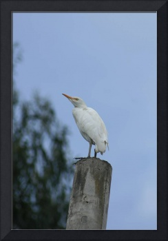 Cattle Egret on a Pole