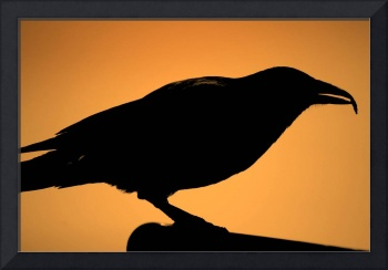 The real  Black crow