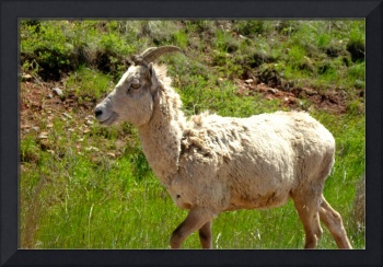 Custer Bighorn Sheep
