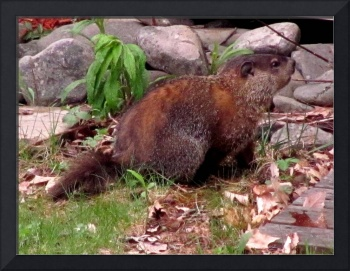 Woodchuck Pointing