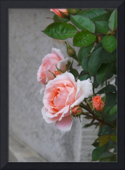 the beauty of roses