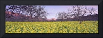 Yellow field and trees at sunset
