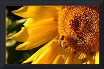 Sunflower-with-Bee-3587