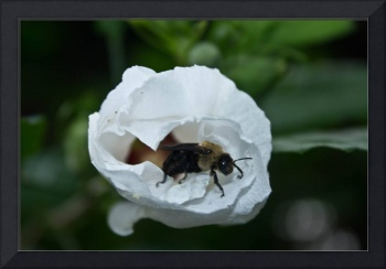 Bumble in a white Rose of Sharon