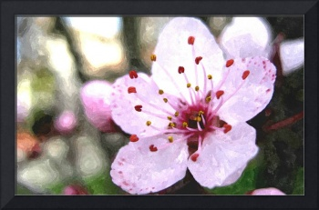 Blooming cherry blossom 6