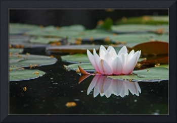 Water Lily, Reflection