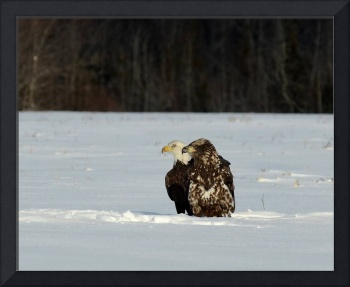 Immature Bald Eagles