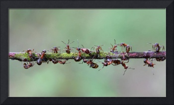 Bridge of ants