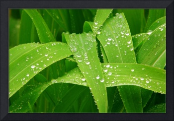 Rain Drops on Corn Stock Leaves