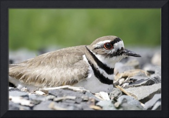 Killdeer Photograph
