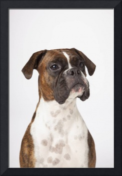 Portrait Of Boxer Dog On White Background