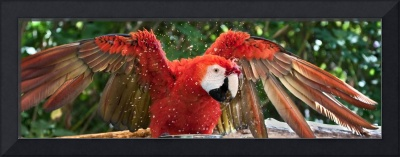 Scarlet Macaw Antics - Birds