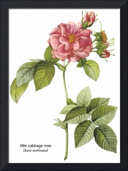 Little Cabbage Rose Botanical Art