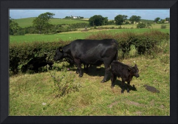 Aberdeen Angus Cow and calf