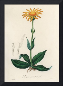 Vintage Botanical Mountain arnica