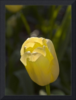 Yellow Waxy Tulip