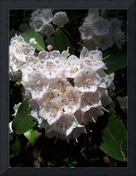 Mountain Laurel in Chancellorsville, Virginia